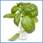 basil in a jar with water